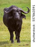 Small photo of African buffalo in Ngorongoro National Park. Africa. Tanzania.
