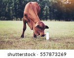 A Calf With Fresh Milk In The...