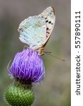 Small photo of Nymphalidae (Latin Nymphalidae.) - A family of Lepidoptera, which consists of about 6100 species and 559 genera. Widely distributed throughout the miru.Babochki medium size.