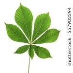 Leaf Chestnut On White...