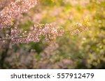 Wild Himalayan Cherry Spring...