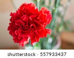 Two Red Carnation. Closeup Vie...