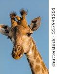 funny portrait of a giraffe... | Shutterstock . vector #557941201