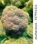 fresh cabbage  fresh italian... | Shutterstock . vector #557951311