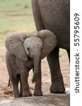 Stock photo young baby african elephant standing next to it s mother 55795609