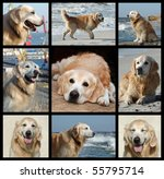 Golden Retriever Dog Collage