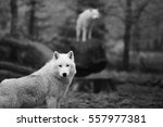 Small photo of When your eyes cross wolf's look, black and white, with blurry background