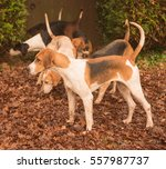 pack of foxhounds  canis lupus... | Shutterstock . vector #557987737
