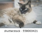 Snow Shoes Ragdoll Siamese Cat...