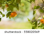 Mandarin Orange Fruits And...