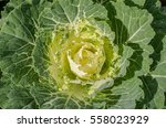 Cabbage Ornamental Detail ...