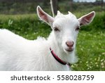A Young White Goat Walking On ...