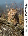 Mountain Lion Cub Or Kitten On...
