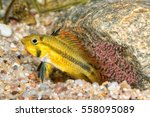 Portrait Of Cichlid Fish ...