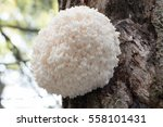 Huge Round Coral Tooth Fungus ...