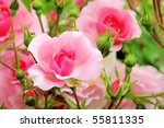 Stock photo rose 55811335