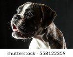 Young Brown Boxer Dog Studio...