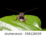 cockroach on a green leaf  ... | Shutterstock . vector #558128539