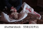 Hand Plucking Feathers From Th...