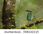 beautiful indian pitta ... | Shutterstock . vector #558132115