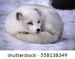 Arctic Fox  Vulpes Lagopus  ...