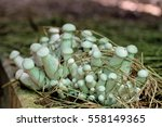 Mushroom On Straw