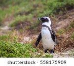 African Penguin At Boulder...