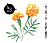 hand drawn watercolor marigold... | Shutterstock . vector #558181384