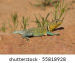Image Of Common Collared Lizar...