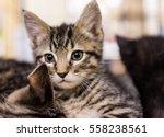 Stock photo closeup portrait of small tabby kitten looking forward cuddling siblings 558238561