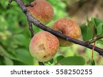 Three Apricots Growing On...