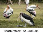 Small photo of Stork and Adjutant is a big bird in Thailand.