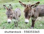 Two Donkeys And A Field. A Pai...