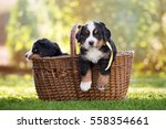 Stock photo bernese mountain puppy in a basket outdoors 558354661