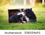 Stock photo two adorable puppies playing together 558354691