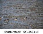 wild ducks | Shutterstock . vector #558358111