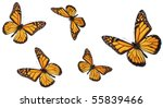Stock photo monarch butterfly in various flying positions isolated on white studio shot 55839466