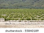 Vineyard in Spain. - stock photo