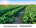 field of sugar beet. green...