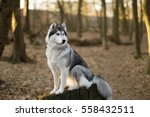 Siberian Husky Is Sitting On...