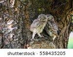 little owl  athene noctua  in... | Shutterstock . vector #558435205