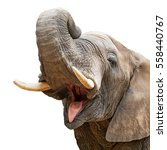 Stock photo closeup of elephant with mouth open and trunk over head isolated on white 558440767