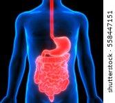 human digestive system anatomy. ... | Shutterstock . vector #558447151