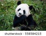 panda   Shutterstock . vector #558584215