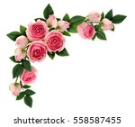 pink rose flowers and buds... | Shutterstock . vector #558587455