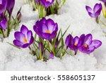 spring crocus in the snow  lit... | Shutterstock . vector #558605137
