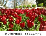 beautiful red tulips blooming... | Shutterstock . vector #558617449