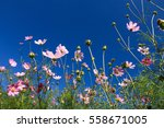 Colorful White Pink Cosmos...