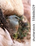Small photo of The alpine accentor (Prunella collaris) sitting on a stone wall