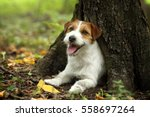 Dog Jack Russell Terrier Under...